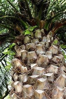 Palm, Tribe, Crown, Approach, Phoenix Canariensis