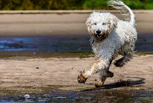 Golden Doodle, Dog, Beach, Dog On Beach, Running Dog