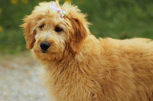 Goldendoodle, Dog, Canine, Pet, Animal, Doodle, Golden