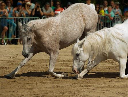 Horses, Dressage, Horse Show, Standard