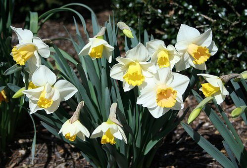 Daffodils, Spring, Flowers, Nature, Easter, Season