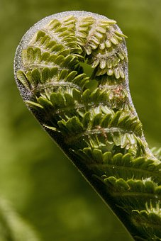 Fern, Fiddlehead, Before The Roll Out, Green, Plant