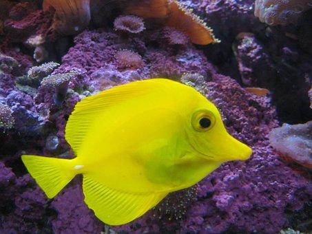 Fish, Yellow, Water, Fishermen, Yellow Tang