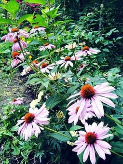 Coneflower, Flower, Echinacea, Border, Purple, Tall