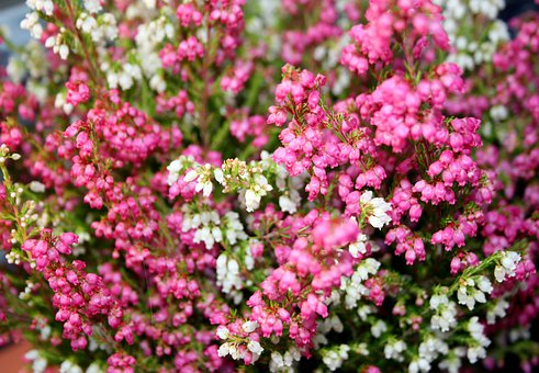 Balcony, Plant, Heather, Erika, Garden, Bloom, Pink