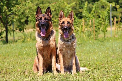 Dogs, Homemade, Animals, German Shepherd, Hobby