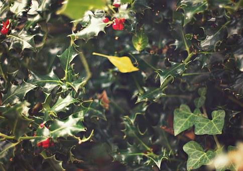 Ivy, Holly, Plant, Nature, Floral, Seasonal, Green