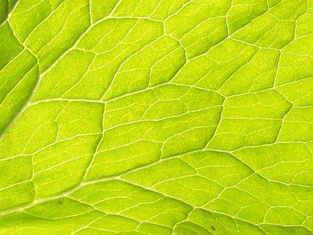 Plant, Leaf Veins, Water Transport, Vascular Bundle