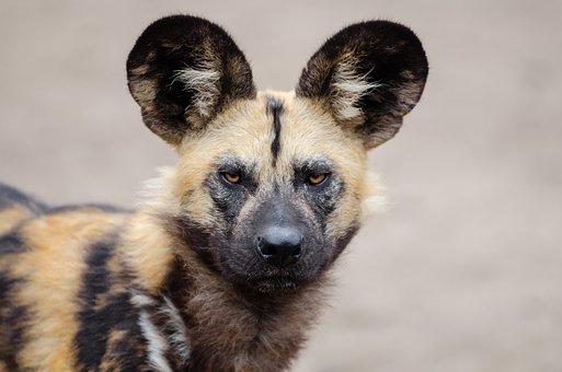 African Wild Dog, Lycaon Pictus, Carnivorous Mammal