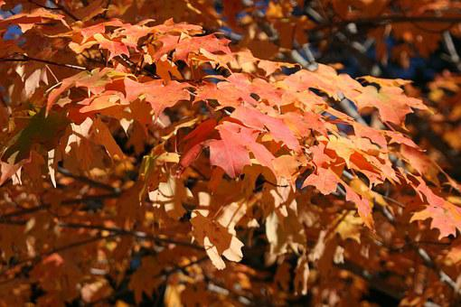 Leaves, Autumn, Autumn Leaves, Nature, Fall, Red