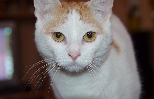 Cat, Yellow Eyes, Cat's Eyes, Fur, Black, Pet, Animal