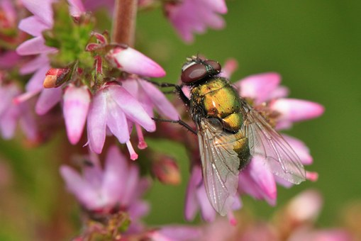 Fly, Insect, Heide, Heather, Flower, Bloom, Plant, Pink