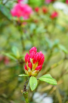 Rhododendron, Blossom, Bloom, Bud, Inflorescence, Red
