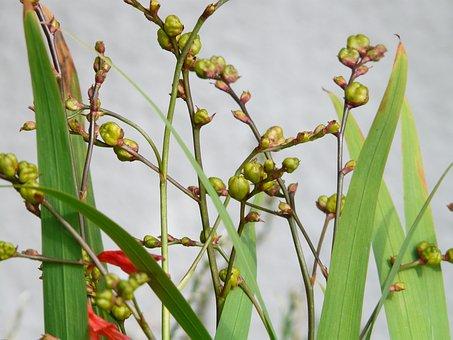 Seed Capsules, Seeds, Montbretia Seeds, Montbretia