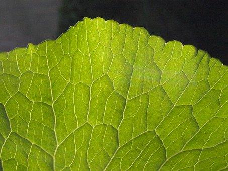 Water Transport, Plant, Leaf Veins, Vascular Bundle