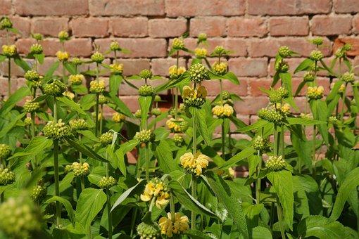 Flowers, Yellow, Russell Brandkraut, Phlomis Russeliana
