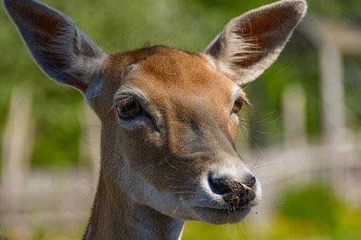 Deer, Animal, Mammal, Nature, Wildlife, Wild Animal
