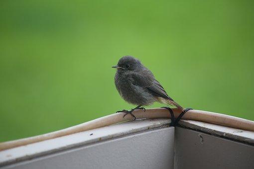 Bird, Black Redstart, Ornithology, Species, Animal
