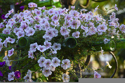 Surfinia, Flowers, Plant, Petunia, Plant Pot, Petals