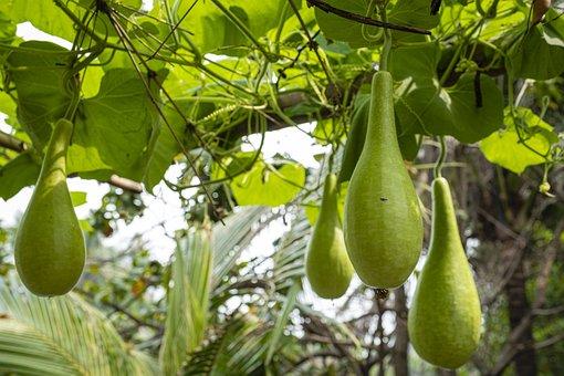 Vegetable, Gourd, Organic, Healthy, Nutrient