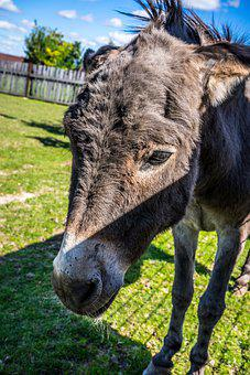 Donkey, Equine, African Donkey, Equidae, Africa, Wild