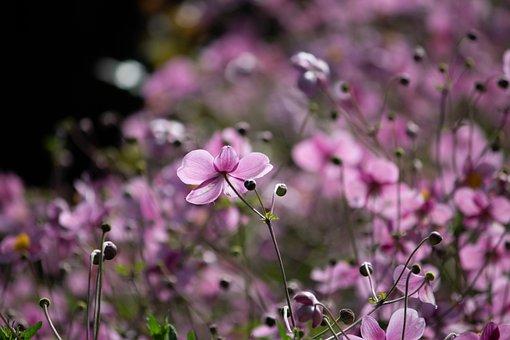Japanese Anemone, Flower, Buds, Plant, Anemone