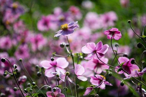 Japanese Anemone, Flowers, Buds, Plants, Anemone