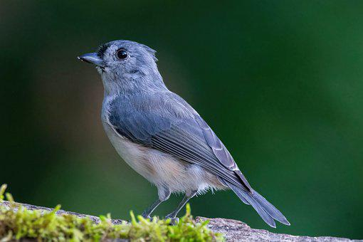Tufted Titmouse, Bird, Perched, Animal, Feathers