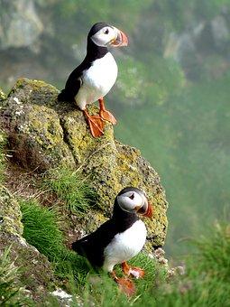 Puffin, Birds, Animals, Atlantic Puffin, Wildlife
