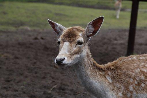 Deer, Reindeer, Ruminant, Bambi, Wild, Animals
