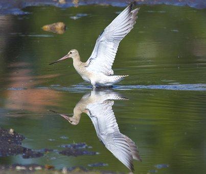Bar-tailed Godwit, Bird, Animal, Wings, Flight, Plumage