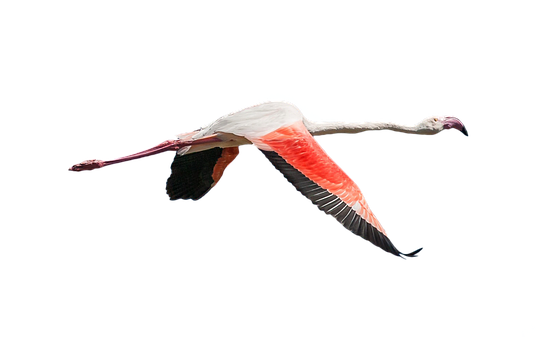 Flamingo, Bird, Flying, Wings, Plumage, Beak, Feathers