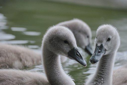 Cygnets, Birds, Animals, Lake, Waterfowls, Water Birds