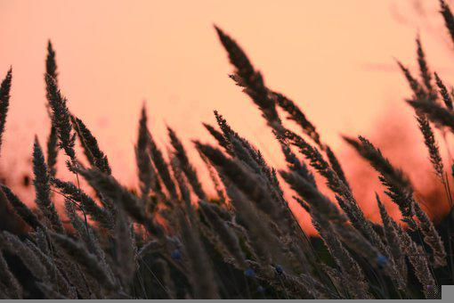 Wheat, Field, Dawn, Cereal, Cereal Grains, Crop, Plants