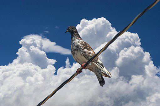 Pigeon, Bird, Perched, Sky, Clouds, Animal, Feathers