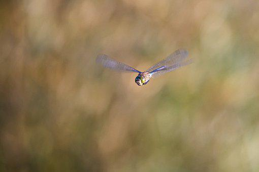 Dragonfly, Insect, Flying, Nature, Closeup, Fauna