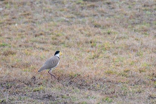 Lapwing, Bird, Animal, Feathers, Plumage, Beak, Bill