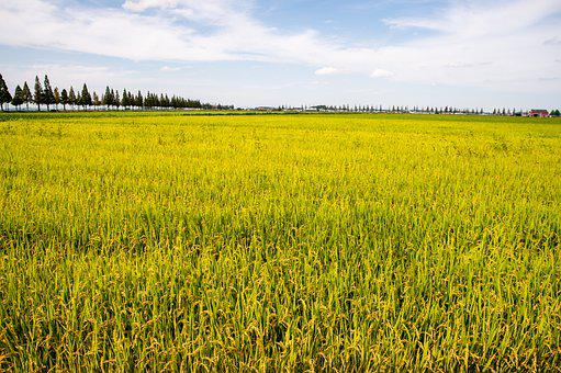 Rice, Field, Paddy, Crops, Arable Land, Agriculture