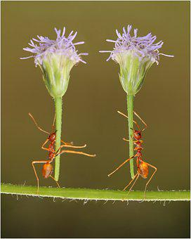 Ants, Insects, Flowers, Garden, Macro