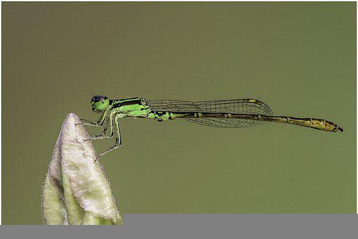 Dragonfly, Insect, Garden, Macro, Nature, Entomology