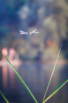 Dragonfly, Insect, Leaves, Plant, Flying, Nature, Lake