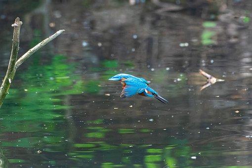 Kingfisher, Bird, Flight, Wings, Lake, Animal, Feathers
