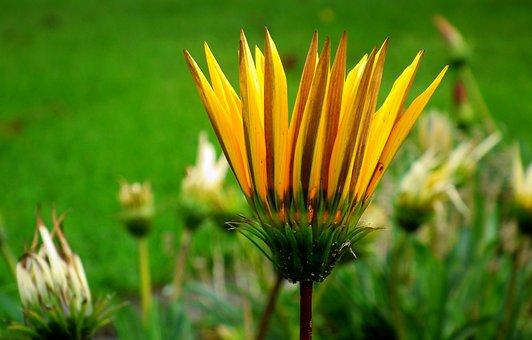 Gazania, African Daisy, Yellow Flower, Blossom, Nature