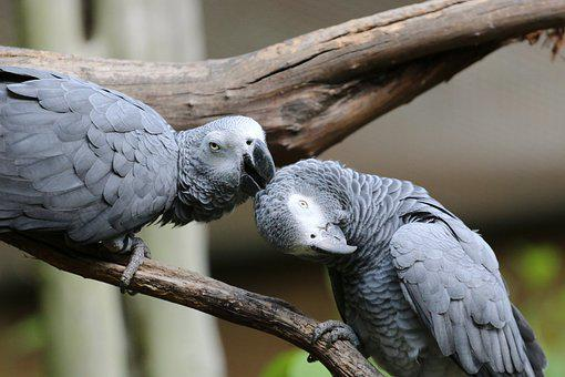 Parrot, Birds, Perched, Animals, Pair