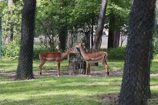 Deer, Buck, Ruminant, Reindeer, Wild, Nature, Park