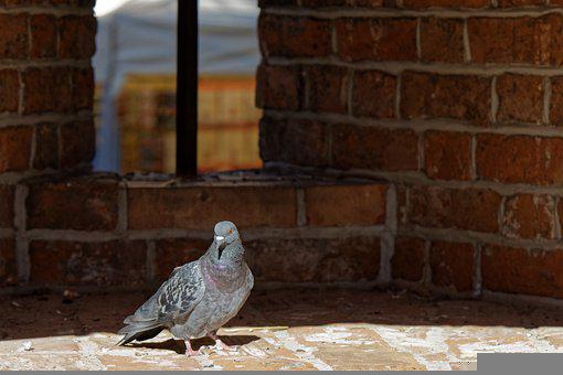 Pigeon, Dove, Bird, Perched, Animal, Feathers, Plumage