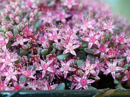 Sedum, Flowers, Plants, Stonecrop, Pink Flowers, Petals