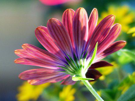 Cape Marguerite, Flower, Plant