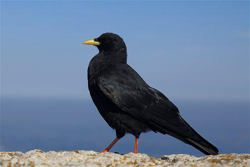 Crow, Bird, Sitting, Animal, Feathers, Plumage, Beak