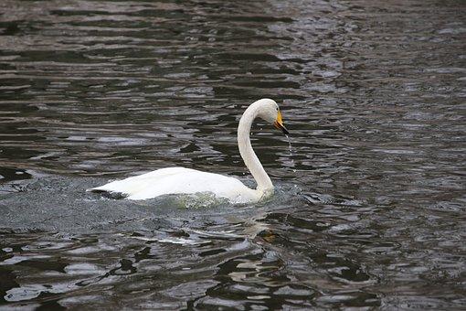 Swan, Bird, Animal, White Swan
